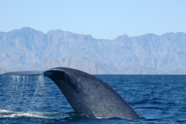 "The ""little"" tail of a blue whale"