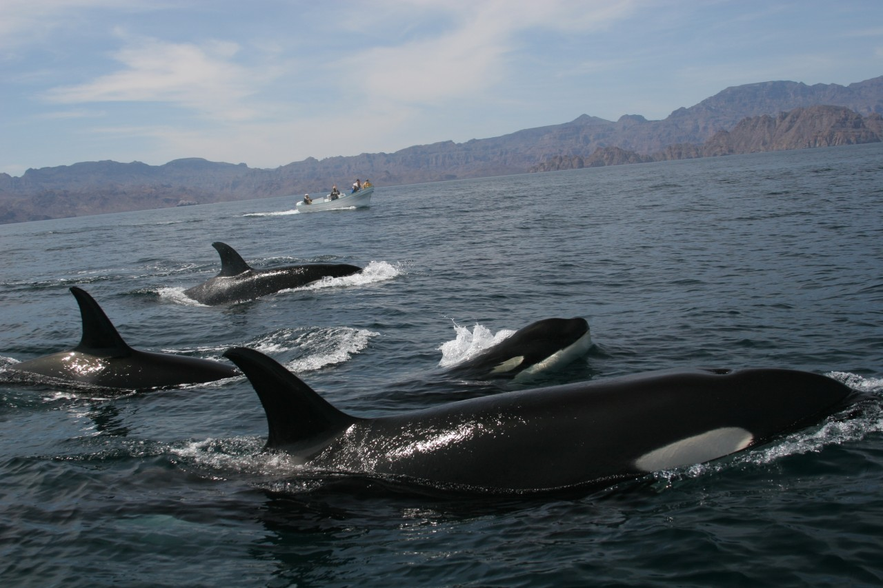A group of orcas in fron of Isla del Carmen