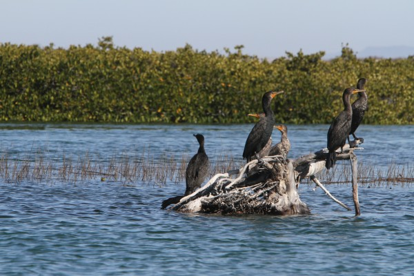 Cormorants at Magdalena Bay