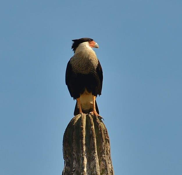 Crested Caracara surveying the horizon