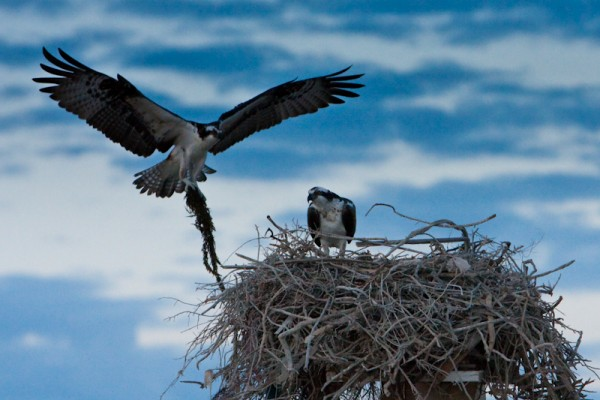 Ospreys pronti a nidificare