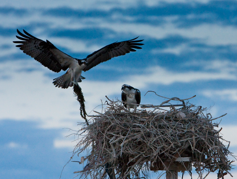 Ospreys ready to nest