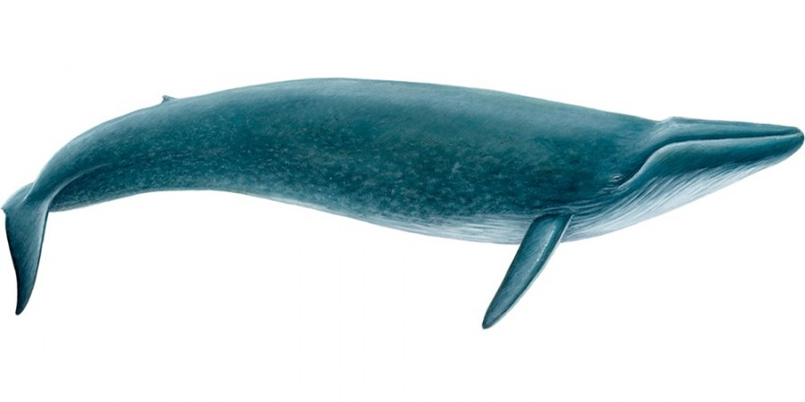 Blue-whale-balaenoptera-musculus